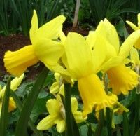 Miniature daffodils n jumblie 2 3 has two or three small delightful yellow flowers on each stem petals are well reflexed to trumpet like cup is bell shaped and ruffled at mightylinksfo